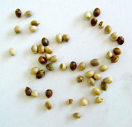 semillas-de-marihuana-control