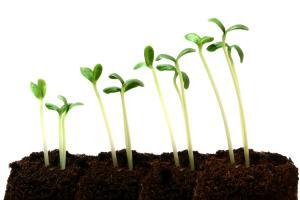 germinar semillas de marihuana en tierra