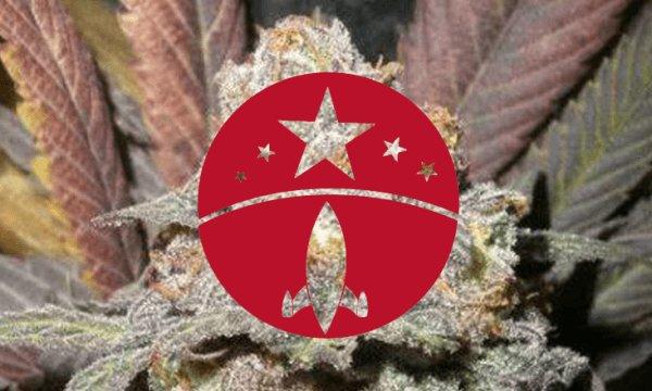 marihuana Somango Mayor