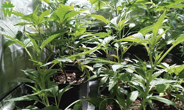 crecimiento del cannabis