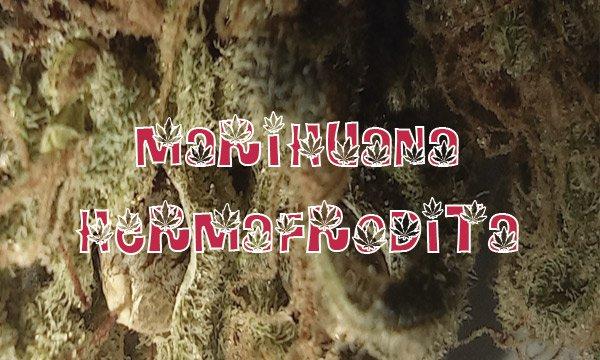 marihuana hermafrodita