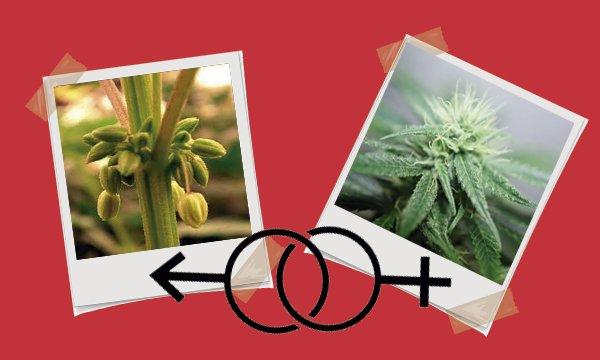 distinguir marihuana